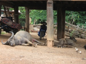 Buffaloes often just lounge under the houses