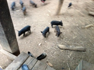 Piglets at least have some freedom