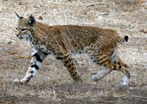 Photo from Photo from Wikipedia Creative Commons,docentjoyce.   http://commons.wikimedia.org/wiki/File:Bobcat_photo.jpg
