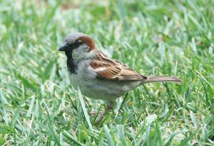 photo from Wikipedia Creative Commons, Alvesgaspar. http://commons.wikimedia.org/wiki/File:Passer_domesticus_April_2009-1.jpg