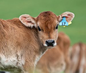 From Wikipedia Commons. http://commons.wikimedia.org/wiki/File:Calf_with_eartag.jpg By Dave Young from Taranaki, New Zealand