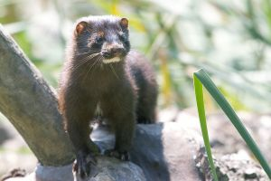 From Wikipedia Commons. http://commons.wikimedia.org/wiki/File:Mink_in_the_park.jpg By qmnonic